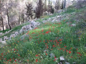 1. Spring wildflowers in the Jerusalem forest.  http://upload.wikimedia.org/wikipedia/commons/2/26/PikiWiki_Israel_19240_Buttercups.JPG