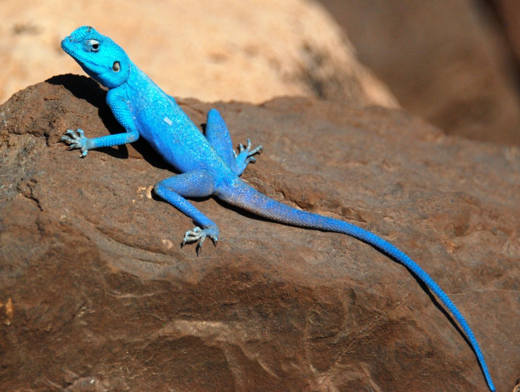 One of the denizens (a blue Sinai lizard) of the Edomite desert
