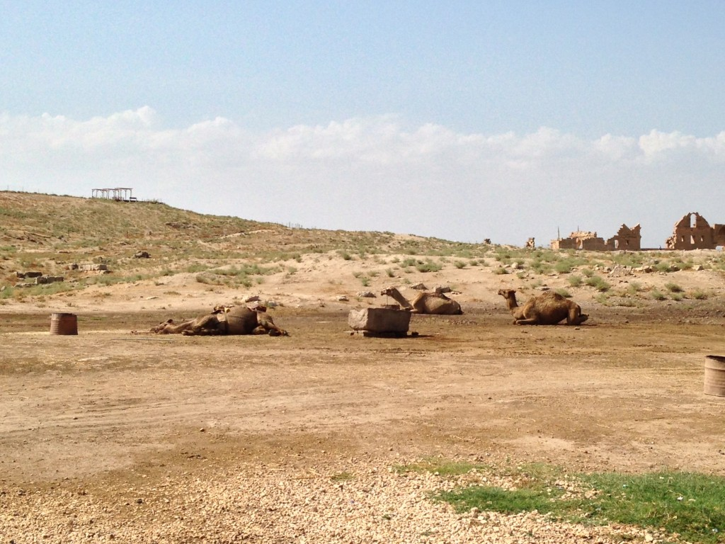 Camels at the foot of the tell.