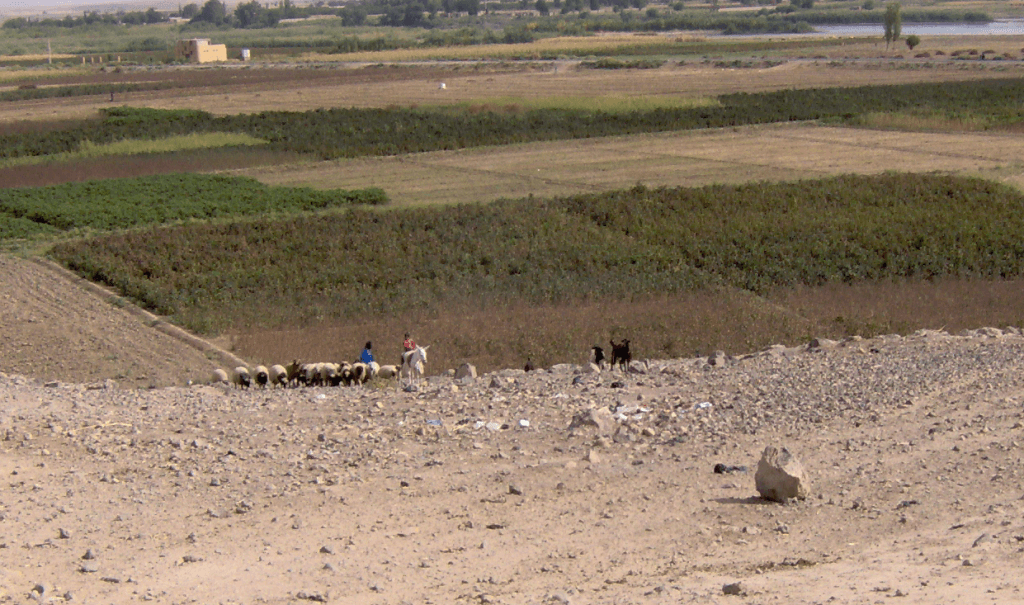 Flocks near Jebel Bishri near the Euphrates.